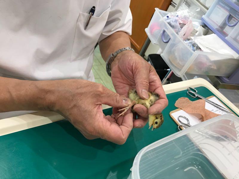 セキセイインコのペローシス|鳥の診療が ...